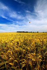 Hot Air Balloon over the barley field photo by ankuv