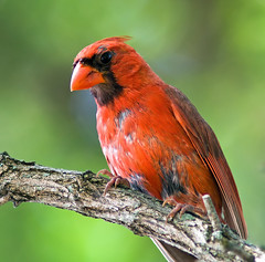 Male Northern Cardinal (Molting) photo by pheαnix