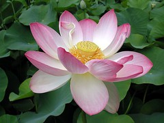 Lotus Flower photo by jennie-robyn