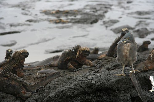 Marine Iguanas by the Surf