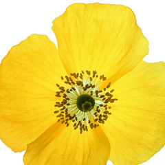 yellow poppy photo by ladyvarmint