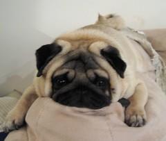 pug dog images