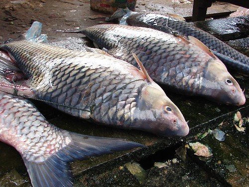 mekong fish