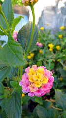 flores isla cachagua 2