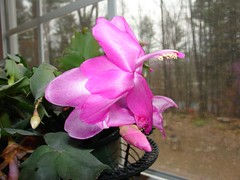 cactus - pink flowers