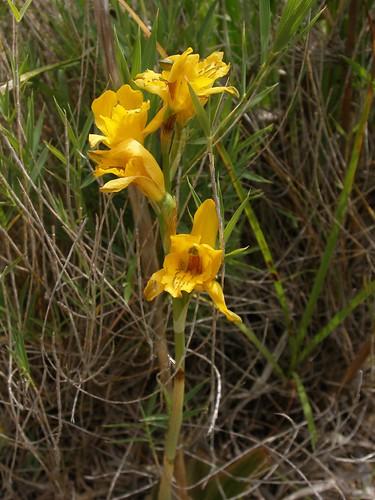 Orquidea amarilla A
