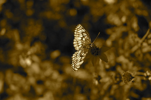 butterflies can look good in sepia too