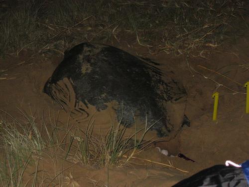 Turtle on Mon Repos beach 1