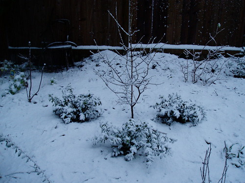 Chimonanthus and Sarcoccoca in Snow