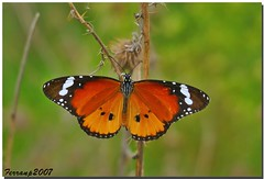 Papallona tigre 01(mascle) - Mariposa tigre (macho) -The Plain Tiger (male) - Danaus chrysippus photo by ferran pestaña