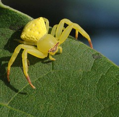 Crab Spider photo by P. Thyaga Raju