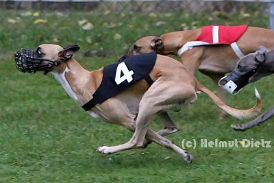 QL9T1929_Culanns_Esquire_Race_Whippet