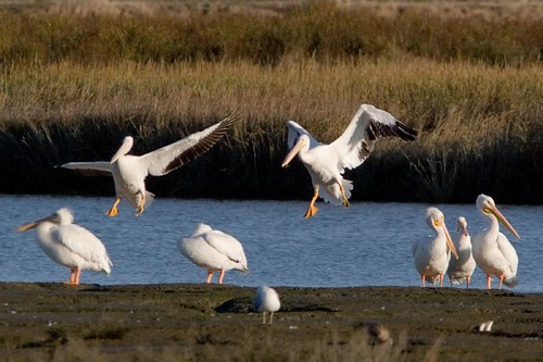American White Pelicans @ the Baylands