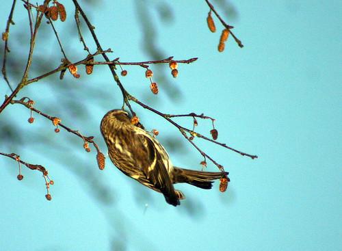 Migratory Bird?