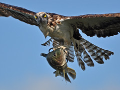 Osprey in flight w large fish 10 photo by Slingher