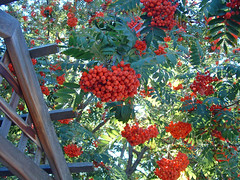 mountain ash over the arbor