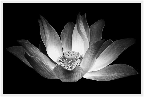 The black and white lotus i am not a photographer