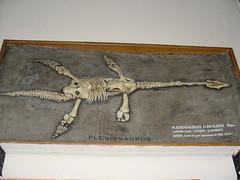 Squelette du Plesiosaurus