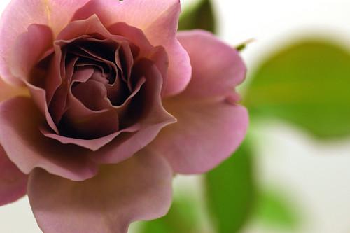 Rose/lavender pinocchio
