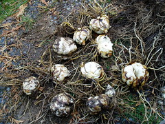 Lilium bulbs ready for replanting