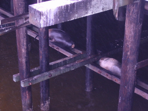 Sea lions bunking under the Santa Cruz Wharf