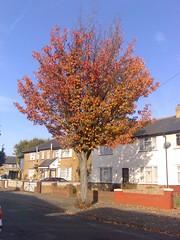 Autumn colours: flame