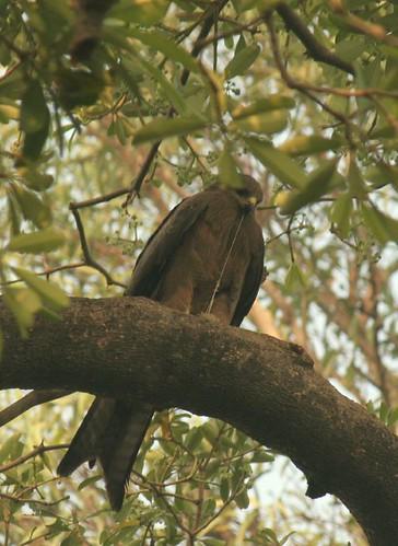 IMG_0343 Black Kite with Nesting Material
