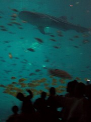 1 of 2 whale sharks (and other fish)