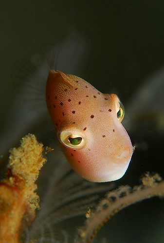 Filefish Juvenile