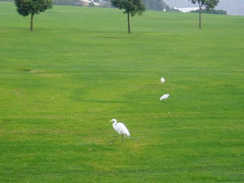 Egrets in Malibu