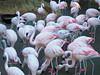 Pink Flamingos at the Atlanta Zoo