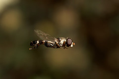There's only one thing stops a hoverfly in mid flight.. Male hoverfly Syritta pipiens photo by Lord V