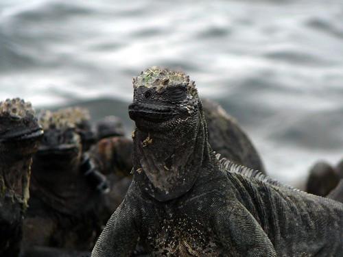 Iguanas Warming Up