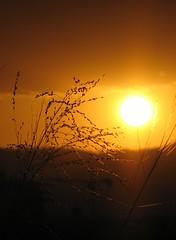 Sunset Grass - Helen's Crop