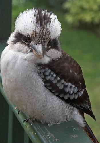 Kookaburra portrait