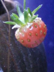 November-Erdbeere