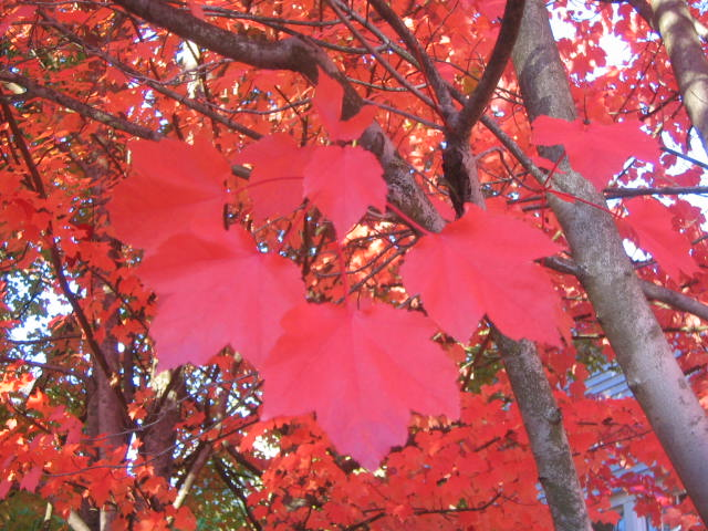 The Most Beautiful Red Maples in Portland ™