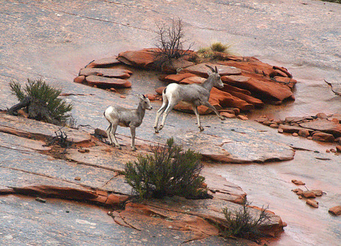 Mountain Sheep Mother and her Kid