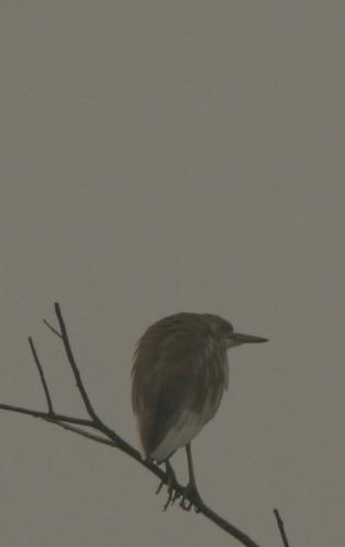 IMG_0114 Pond Heron