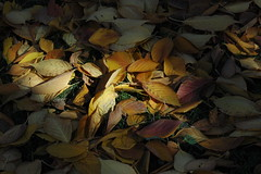 Cherry Leaves