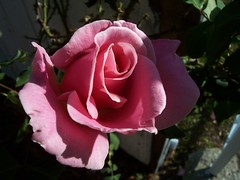 Pink Bewitched Rose