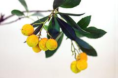 アルブツス ウネド・苺の木