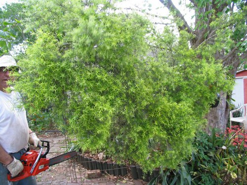 melaleuca gets the chop
