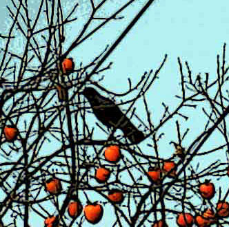 Crow in persimmon tree