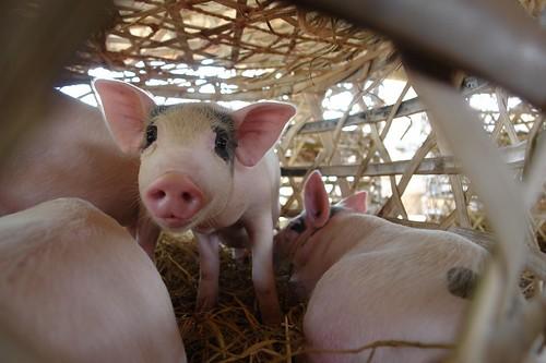 Обзор свиного рынка ЕС: Противоречивая ситуация по всей Европе