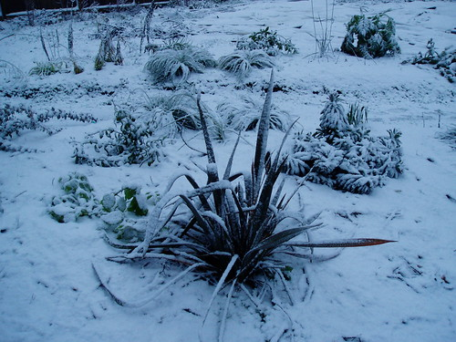 Phormium in Winter