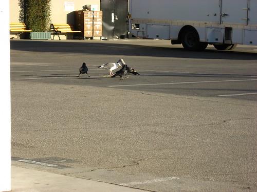 Ravens foraging at Nickelodeon