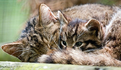 Scottish Wild Cat and Kitten 1 photo by Keith Marshall