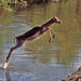 05820-01302 Impala Ewe leaping out of the water when crossing a shallow river by WildImages