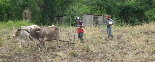 Las Sabanas, Animal Traction